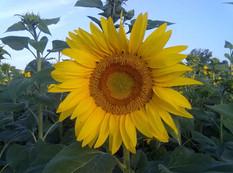 Fleur de tournesol.jpg