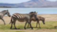 10-Zebras-source-IMG_5865-800w.jpg
