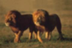 06-lions-800.jpg