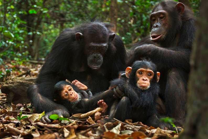16-chimps-793.jpg