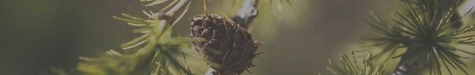 Zapfen vom Zirbenbaum