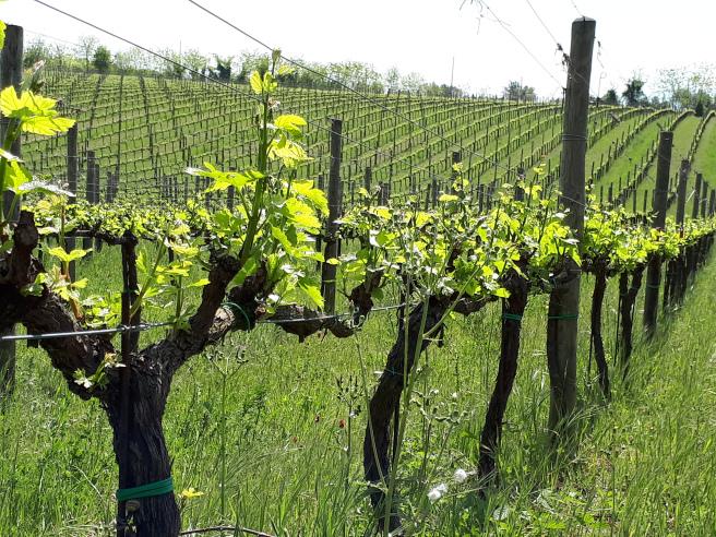 de-fermo-vigne
