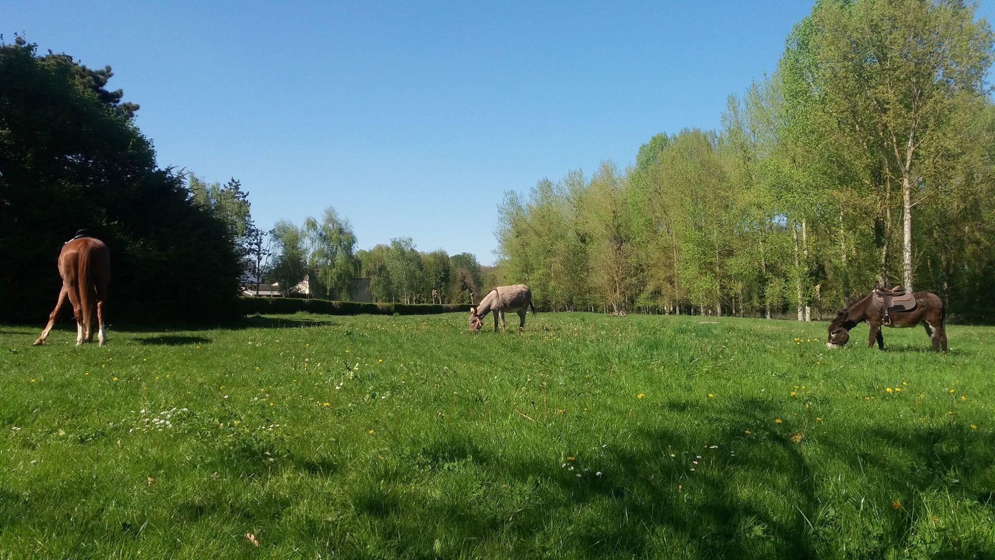 Promenade avec les ânesses