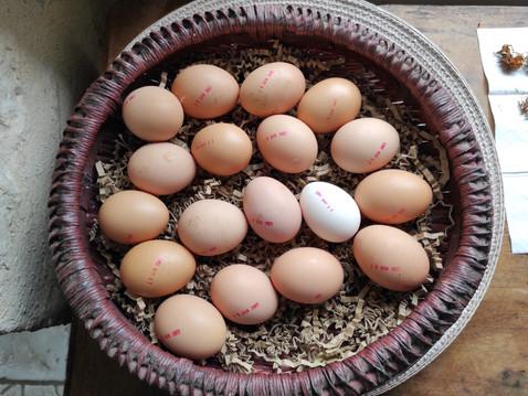 Les œufs de nos poules sont en vente