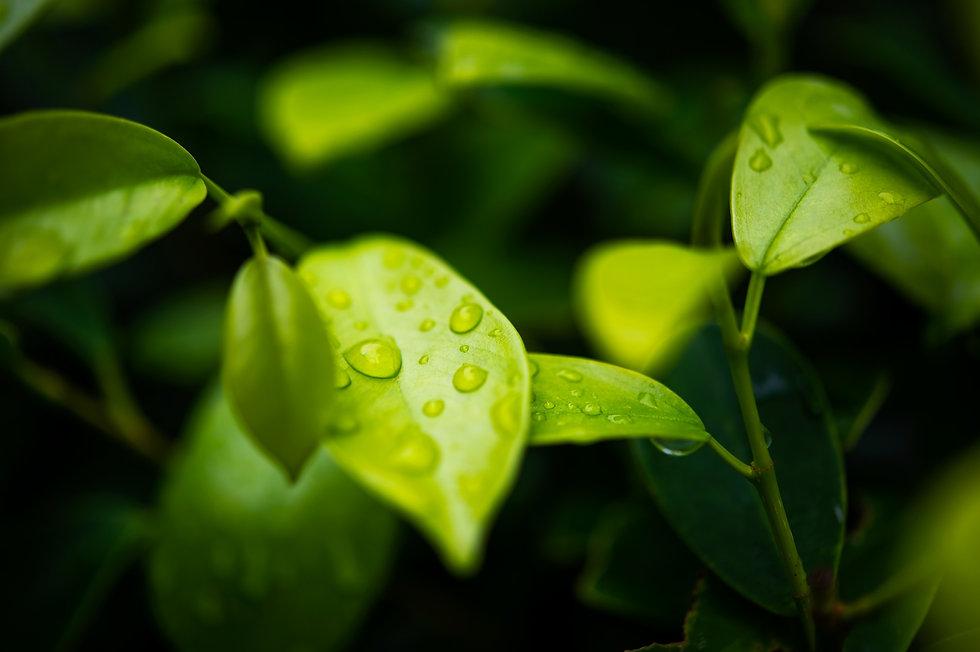 green-tea-leaves_edited.jpg