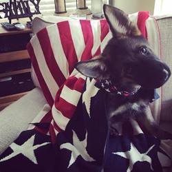 That face!  #Honor #servicedog #service #veterans #firstresponders #ptsdawareness #wagmytailfoundati