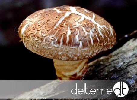Cogumelo Shiitake – Para um Sistema Imunitário bem reforçado