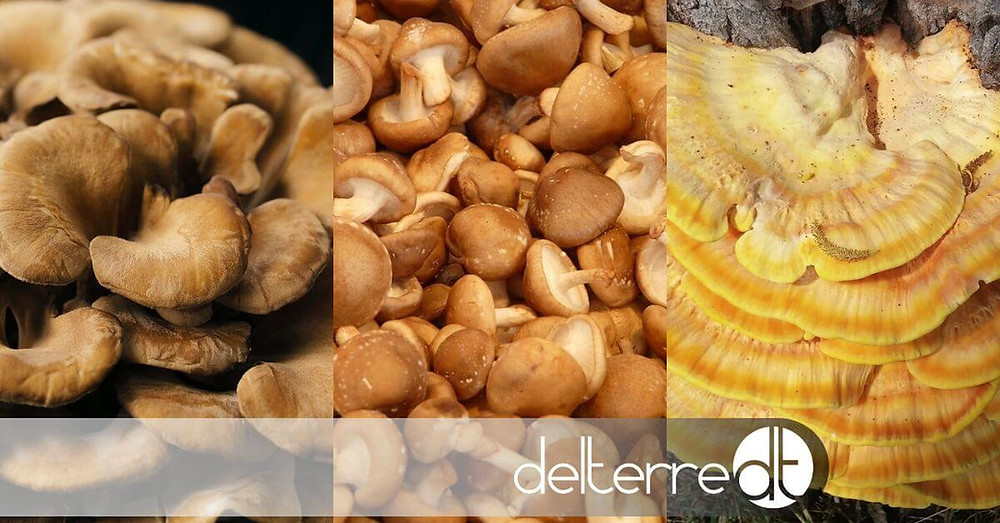 Maitake, Shiitake e Reishi – Especial Sinergia entre cogumelos medicinais