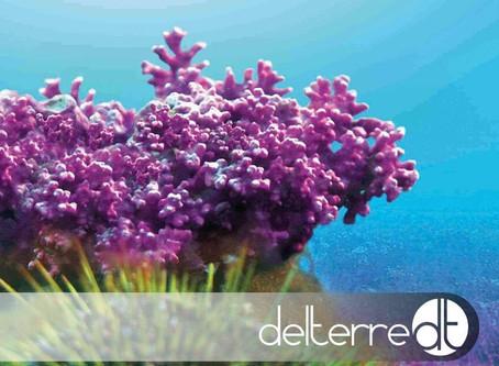 Lithothamnium calcareum - alga marinha, fonte de cálcio