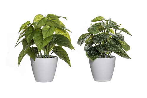 Indoor plant, white pot (Assorted)