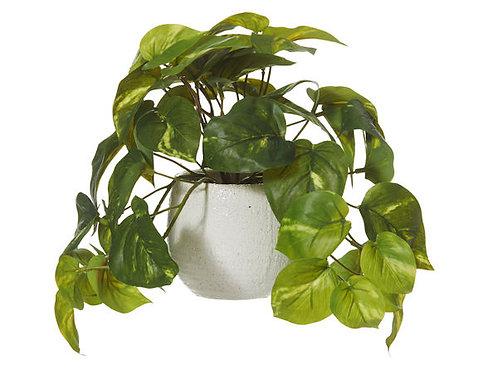Pothos bush