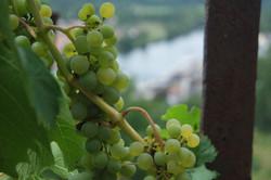 Weintraube_grün