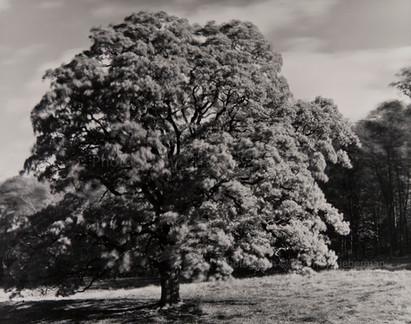 Oak Tree, Barrytown NY