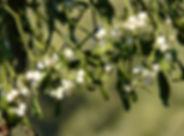 mistletoe-berries-16395_1920.jpg