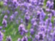 lavender flowers.png