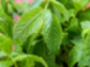 garden mint.png