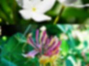 honeysuckle jasmine.png