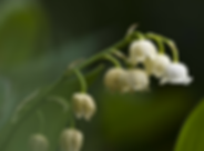 lily of the valley.png