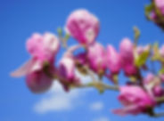 magnolia-324301_1920.jpg