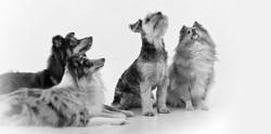 honden zwart wit