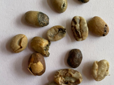Specialty Grade A Coffee Defects