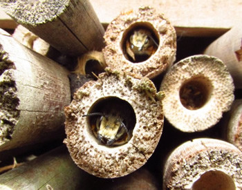 Leafcutter Bees (Megachile willughbiella) have now taken up residence in the above bee hotel