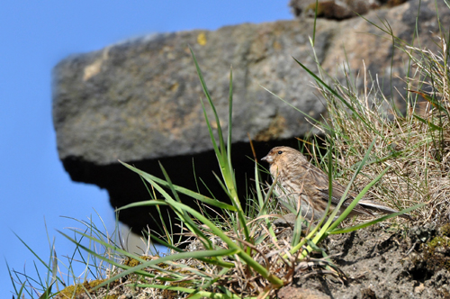 The Cemex Twite Conservation Project