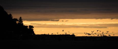 Flock of birds against sunset