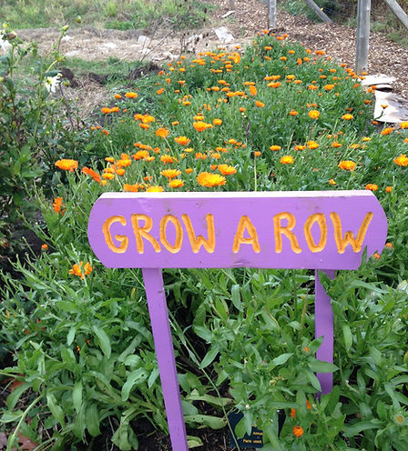 Grow a Row project blooming calendula