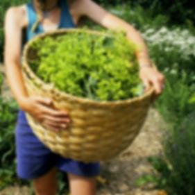 Medicinal Garden Harvest