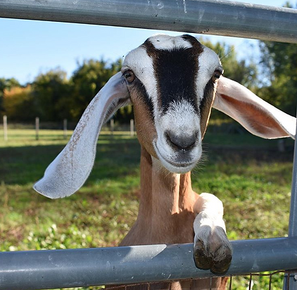 One of the goats that provides the milk used in our gentle and moisturizing goat milk soaps.