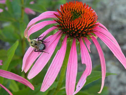 Bumblebee on purple coneflower, an example of the siustainably grown herbs used in our soap.