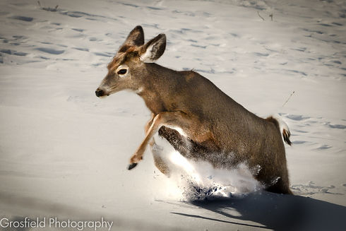 Deer dashing through the snow at Montana mountain cabin rentals