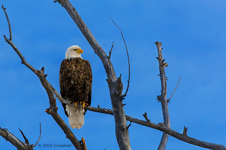 Bald Eagle peched above Montana Cabin Rentals