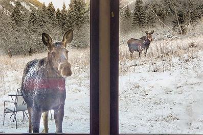 Moose looking in the window of Montana Cabin Rentals