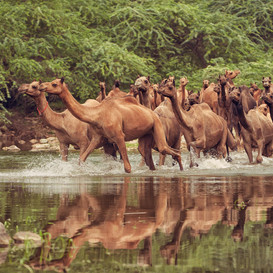 A camel-herd crossing a water-body durin