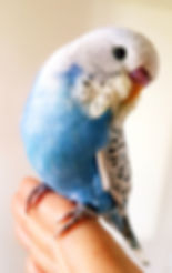 Budgie, young, blue budgie .jpg