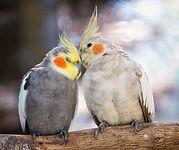 Birds cuddling.jpg