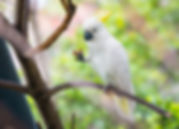 White parrot Sulphur-crested cockatoo ea