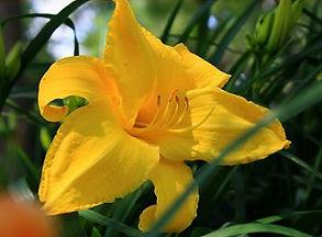 grosse pointe Yellow Flower2_edited.jpg