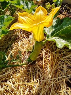 flor calabaza huerto