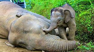 sabah-pygmy-elefanten.jpg