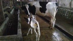 Calf at BRIDAY Dairy from AI