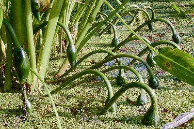 Peltandra virginica-8422 for web .jpg