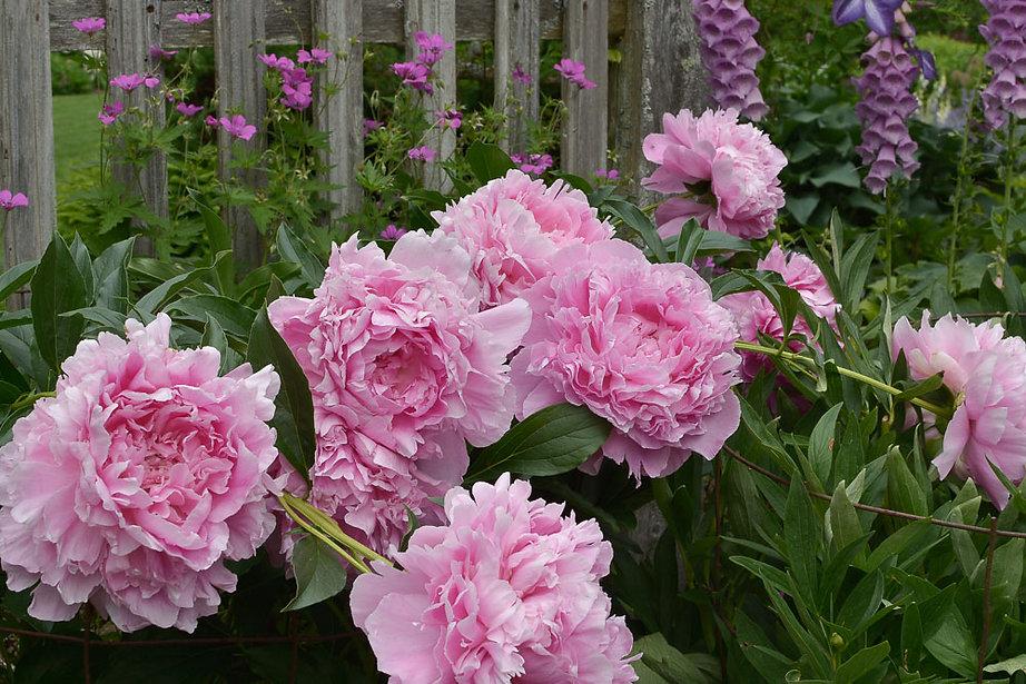 Paeonia Pink Parfait-3122.jpg