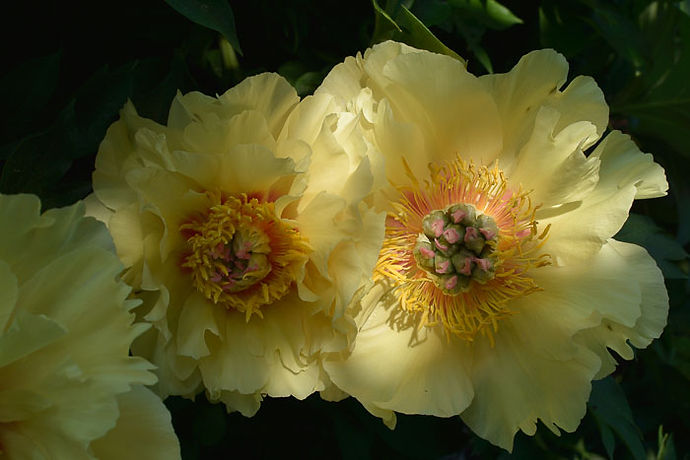 Paeonia Garden Treasure-2522 web.jpg