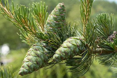 Pinus parv Cleary-8721 web.jpg