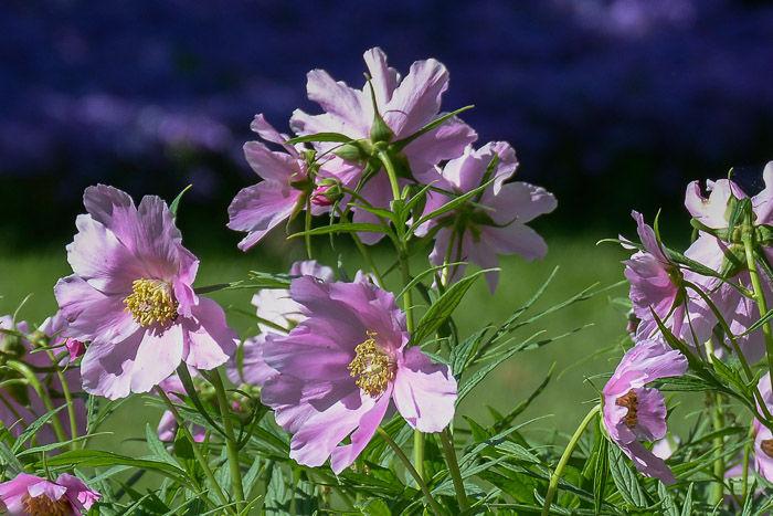 Paeonia veitchii-1708.jpg