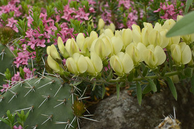 Baptisia leucophea-3395 web.jpg