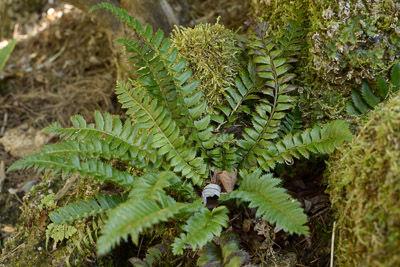 Polystichum lonchitus for web -46508.jpg